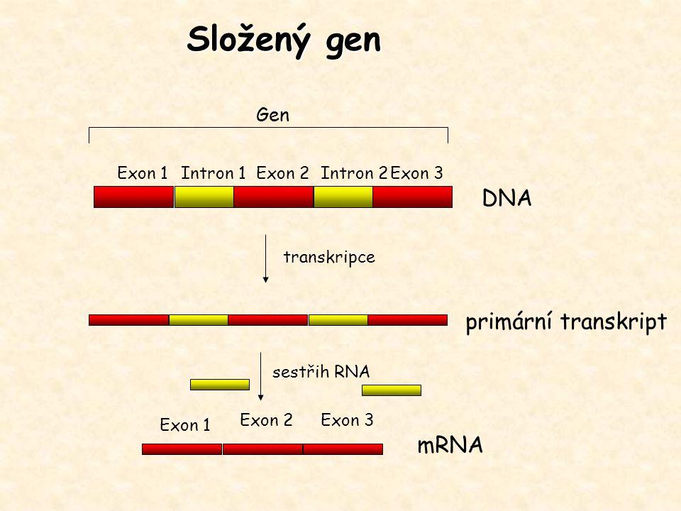 Gen Exon 1Exon 2Exon 3Intron 1Intron 2 transkripce sestřih RNA DNA primární transkript mRNA Exon 1 Exon 2Exon 3 Složený gen