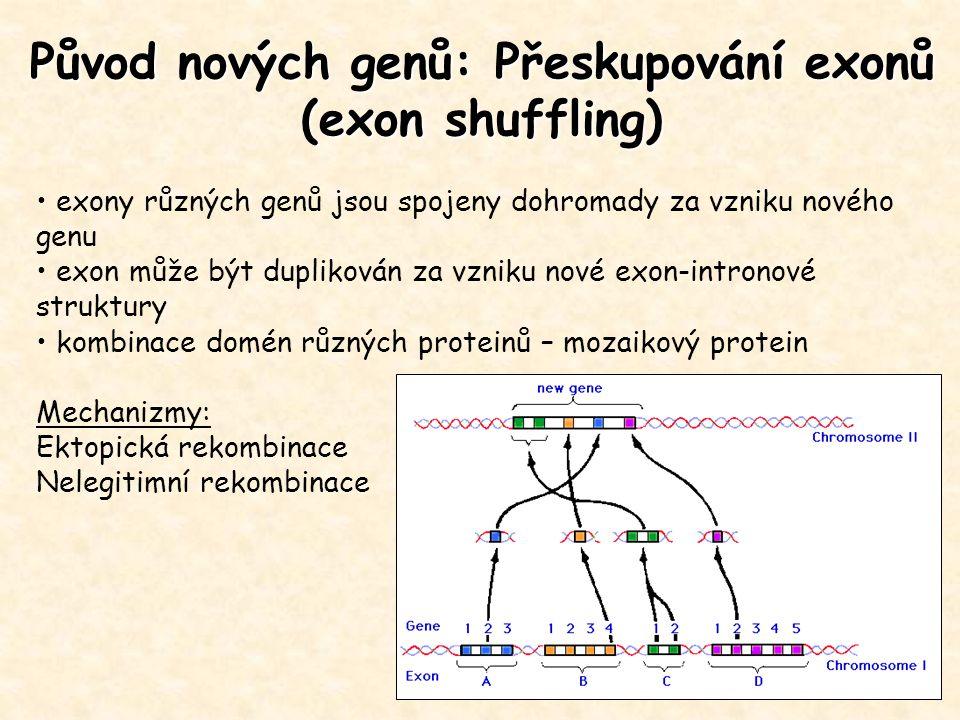 Původ nových genů: Přeskupování exonů (exon shuffling) exony různých genů jsou spojeny dohromady za vzniku nového genu exon může být duplikován za vzn