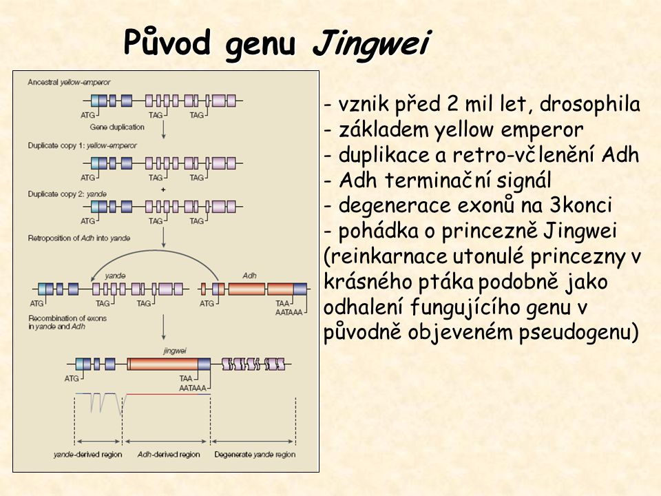 Původ genu Jingwei - vznik před 2 mil let, drosophila - základem yellow emperor - duplikace a retro-včlenění Adh - Adh terminační signál - degenerace