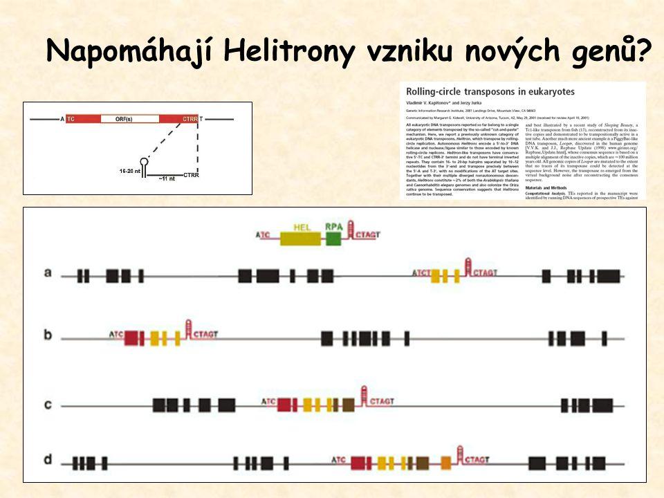 Napomáhají Helitrony vzniku nových genů?
