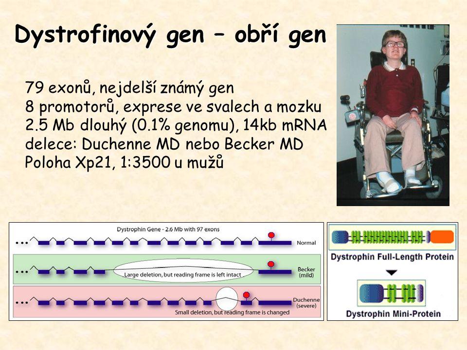 Dystrofinový gen – obří gen 79 exonů, nejdelší známý gen 8 promotorů, exprese ve svalech a mozku 2.5 Mb dlouhý (0.1% genomu), 14kb mRNA delece: Duchen