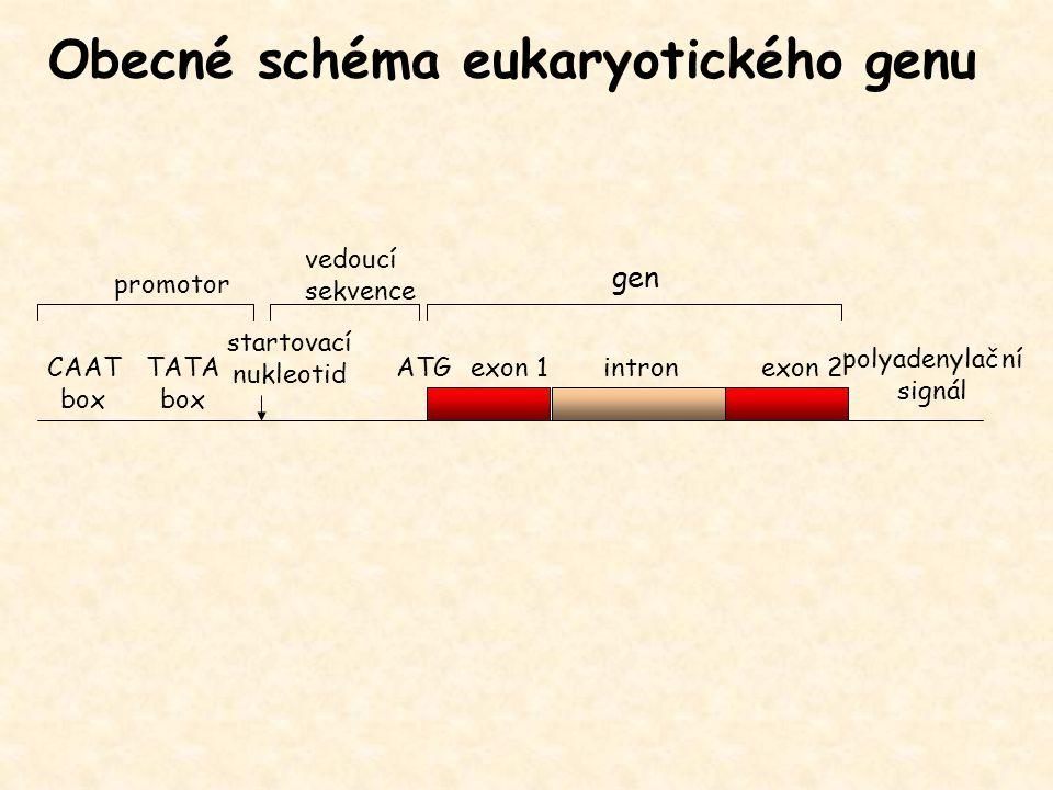 gen exon 1exon 2intronATG promotor polyadenylační signál Obecné schéma eukaryotického genu CAAT box TATA box startovací nukleotid vedoucí sekvence