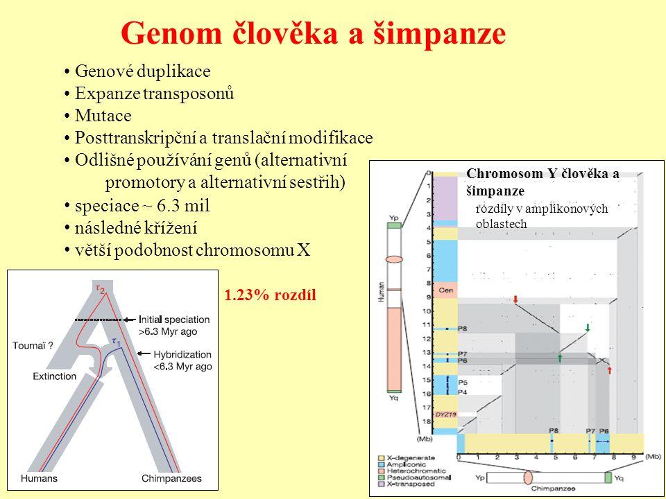 Genom člověka a šimpanze speciace ~ 6.3 mil následné křížení větší podobnost chromosomu X 1.23% rozdíl Genové duplikace Expanze transposonů Mutace Pos