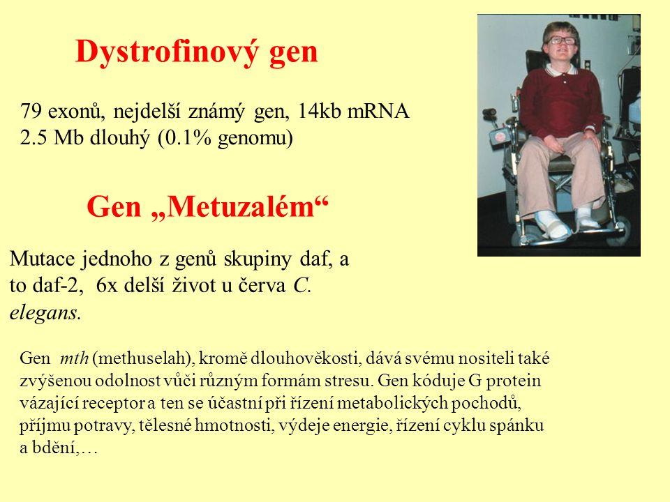 """Gen """"Metuzalém"""" Mutace jednoho z genů skupiny daf, a to daf-2, 6x delší život u červa C. elegans. Dystrofinový gen 79 exonů, nejdelší známý gen, 14kb"""