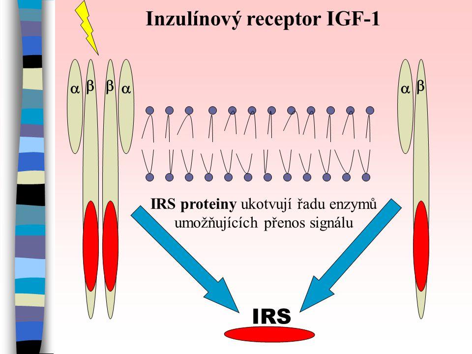    IRS Inzulínový receptor IGF-1 IRS proteiny ukotvují řadu enzymů umožňujících přenos signálu