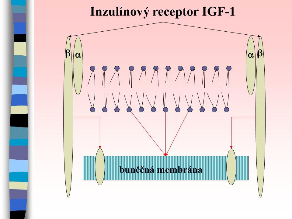    Inzulínový receptor IGF-1 buněčná membrána