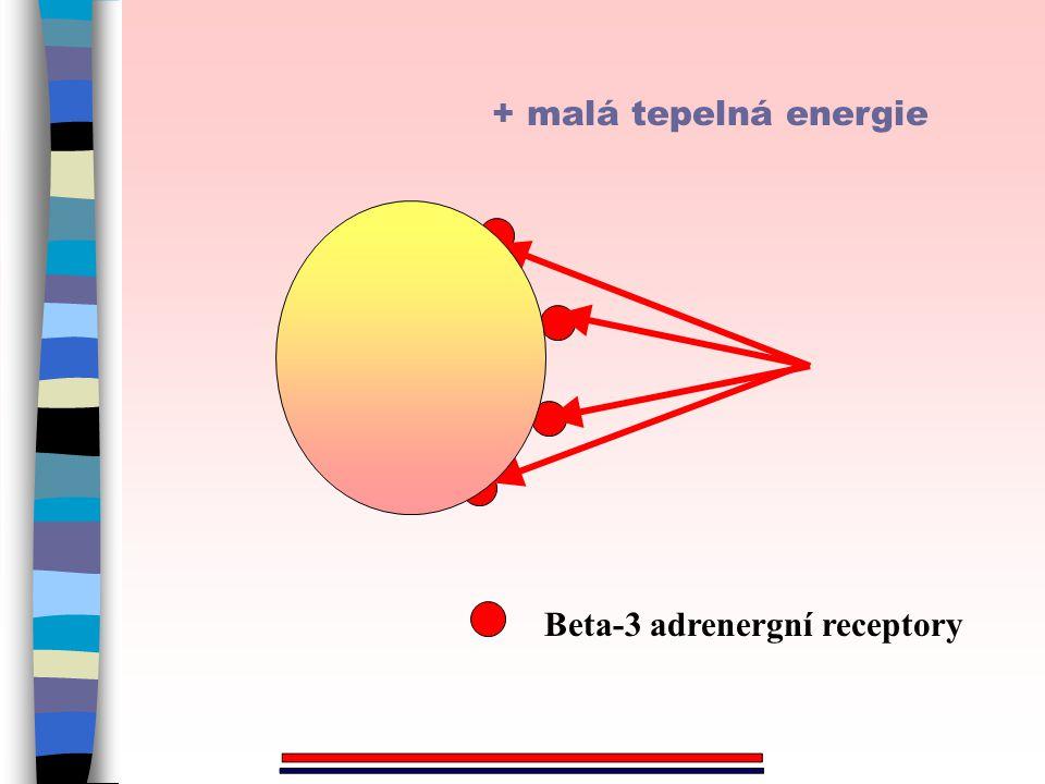 + malá tepelná energie Beta-3 adrenergní receptory