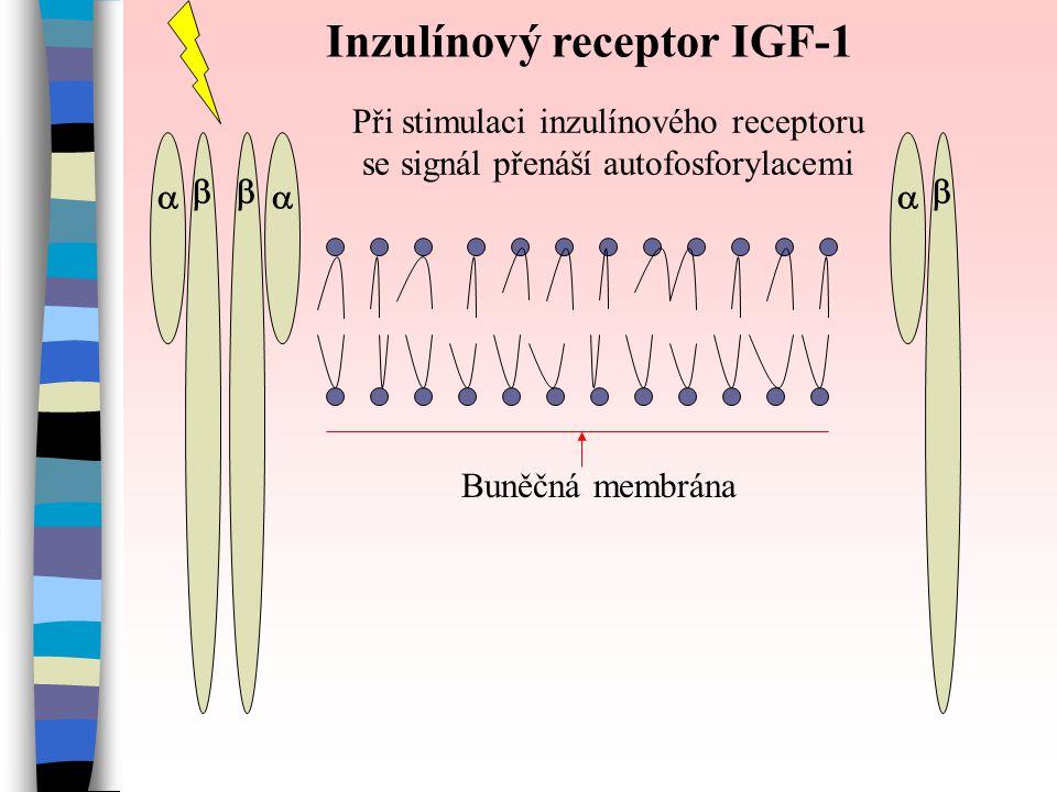    Inzulínový receptor IGF-1 Při stimulaci inzulínového receptoru se signál přenáší autofosforylacemi Buněčná membrána