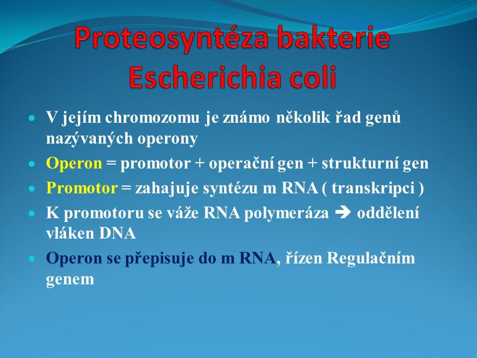  V jejím chromozomu je známo několik řad genů nazývaných operony  Operon = promotor + operační gen + strukturní gen  Promotor = zahajuje syntézu m