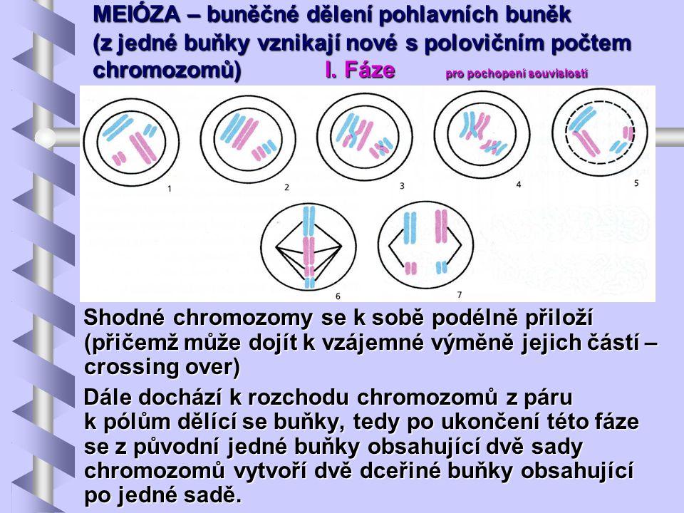 MEIÓZA – buněčné dělení pohlavních buněk (z jedné buňky vznikají nové s polovičním počtem chromozomů) I. Fáze pro pochopení souvislostí Shodné chromoz