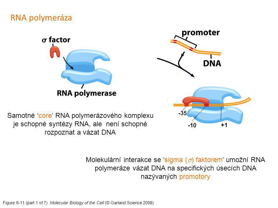 Figure 6-11 (part 1 of 7) Molecular Biology of the Cell (© Garland Science 2008) Molekulární interakce se 'sigma (  ) faktorem' umožní RNA polymeráze