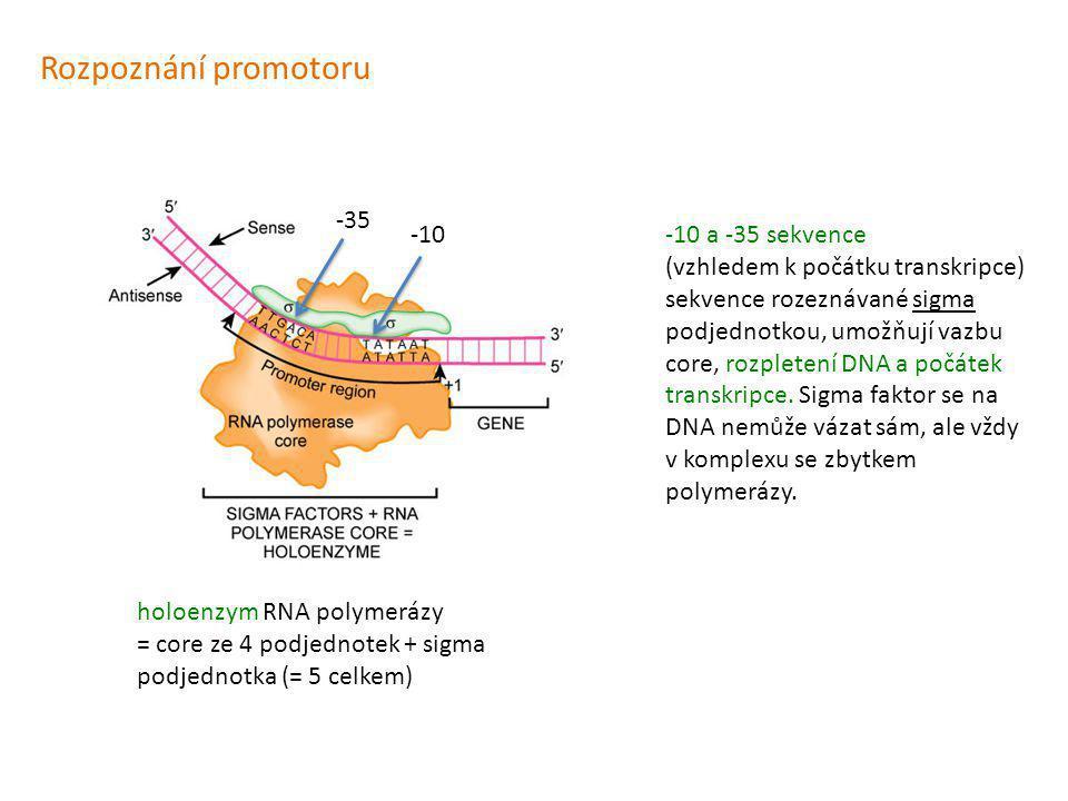 Rozpoznání promotoru -10 a -35 sekvence (vzhledem k počátku transkripce) sekvence rozeznávané sigma podjednotkou, umožňují vazbu core, rozpletení DNA