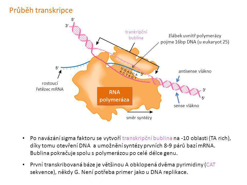 antisense vlákno sense vlákno RNA polymeráza RNA polymeráza trankripční bublina rostoucí řetězec mRNA směr syntézy Po navázání sigma faktoru se vytvoř
