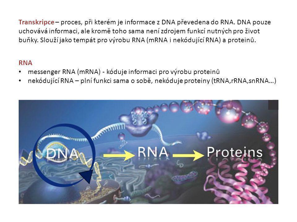 antisense vlákno (templátové, nekódující) sense vlákno (netemplátové, kódující) vlákna jsou od sebe dočasně oddělena (denaturují) vyrobeno nové vlákno RNA RNA vlákno je komplementární k antisense vláknu DNA RNA stejná jako sense vlákno DNA, ale z ribonukleotidů a místo T jsou U syntéza vždy ve směru 5' - 3' (3'OH ribozy s 5'fosfátem sousedního nukletodu) pouze jedno vlákno se přepisuje (transkribuje) do RNA Pouze malý počet genů je v daný moment transkribováno, většina podléhá přísně časové a tkánově specifické regulaci podle aktuálních potřeb buňky.
