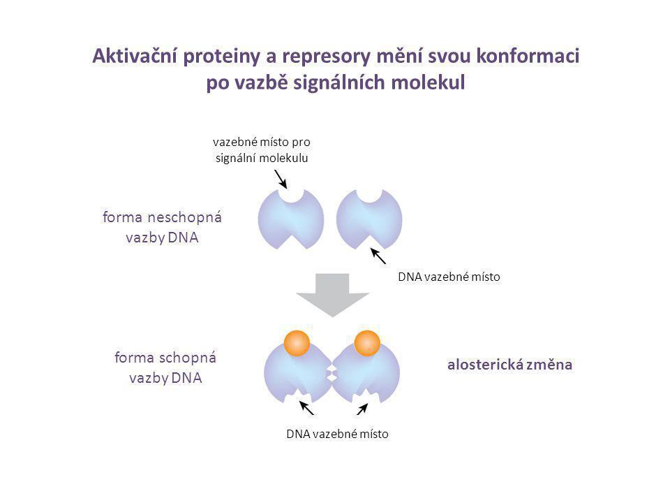 Aktivační proteiny a represory mění svou konformaci po vazbě signálních molekul forma neschopná vazby DNA forma schopná vazby DNA signální molekula (n
