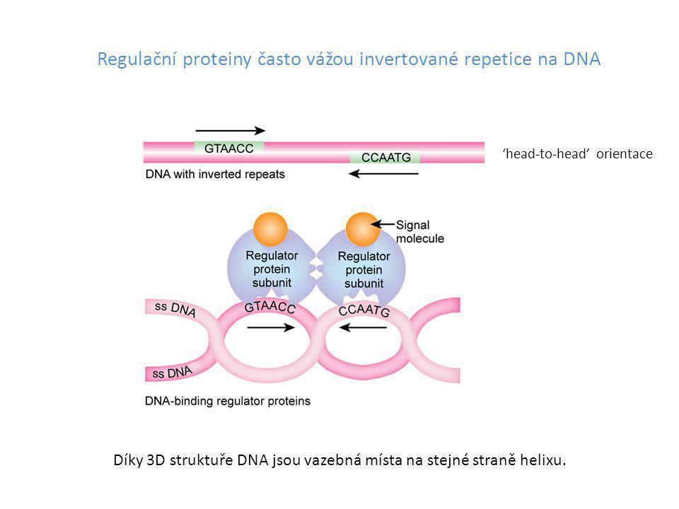 Regulační proteiny často vážou invertované repetice na DNA Díky 3D struktuře DNA jsou vazebná místa na stejné straně helixu. 'head-to-head' orientace