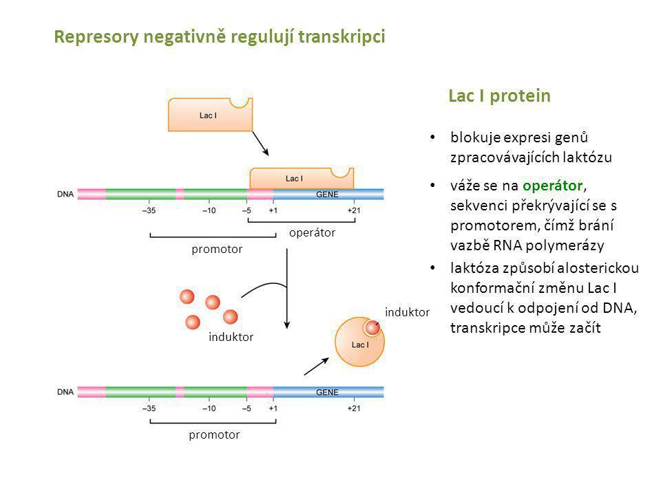 Represory negativně regulují transkripci Lac I protein blokuje expresi genů zpracovávajících laktózu váže se na operátor, sekvenci překrývající se s p