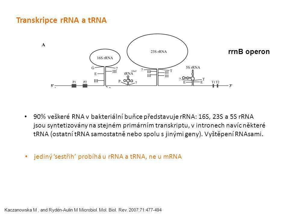 Kaczanowska M, and Rydén-Aulin M Microbiol. Mol. Biol. Rev. 2007;71:477-494 Transkripce rRNA a tRNA rrnB operon 90% veškeré RNA v bakteriální buňce př