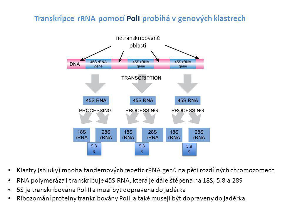 Transkripce rRNA pomocí PolI probíhá v genových klastrech Klastry (shluky) mnoha tandemových repetic rRNA genů na pěti rozdílných chromozomech RNA pol
