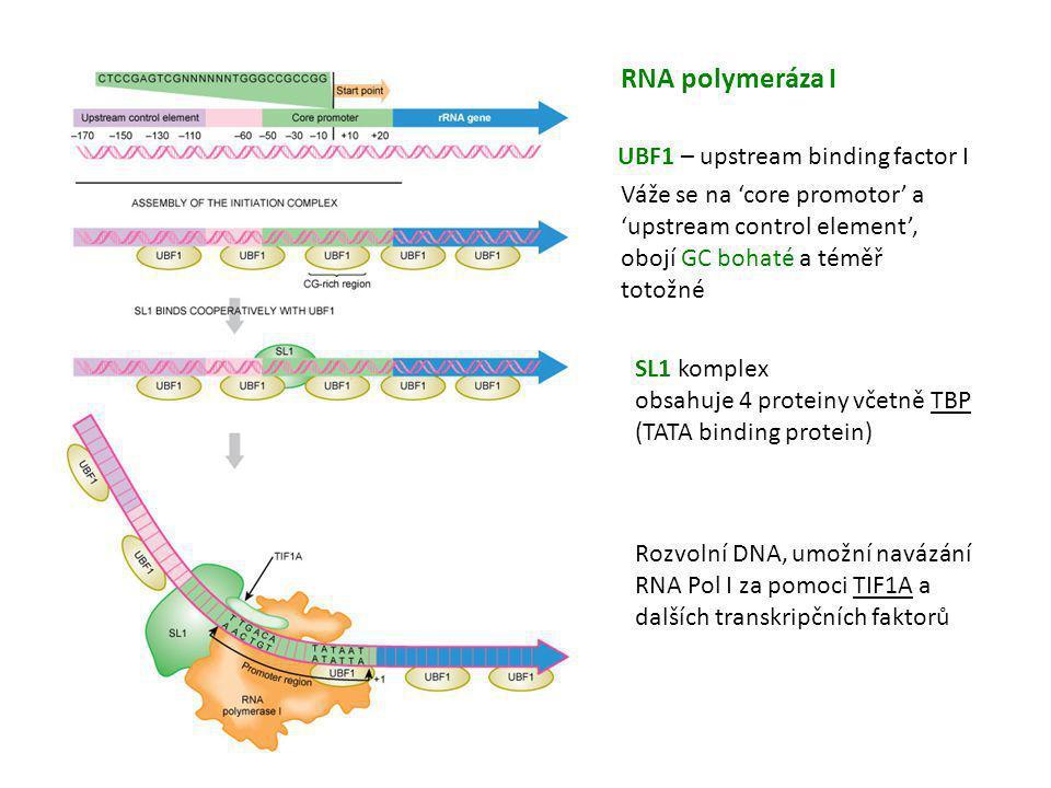 UBF1 – upstream binding factor I Váže se na 'core promotor' a 'upstream control element', obojí GC bohaté a téměř totožné SL1 komplex obsahuje 4 prote