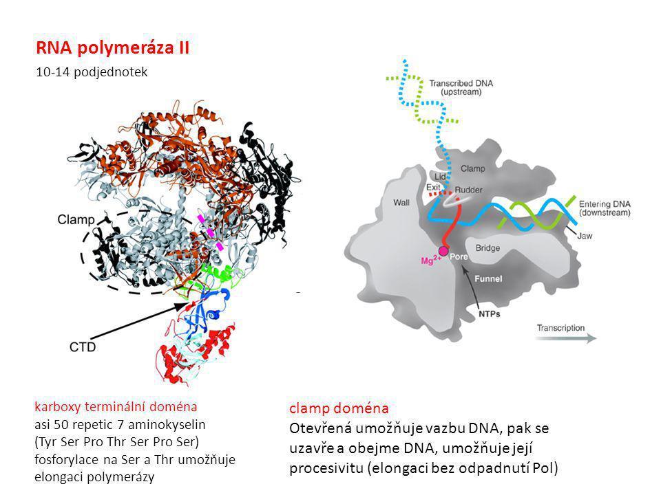 RNA polymeráza II karboxy terminální doména asi 50 repetic 7 aminokyselin (Tyr Ser Pro Thr Ser Pro Ser) fosforylace na Ser a Thr umožňuje elongaci pol