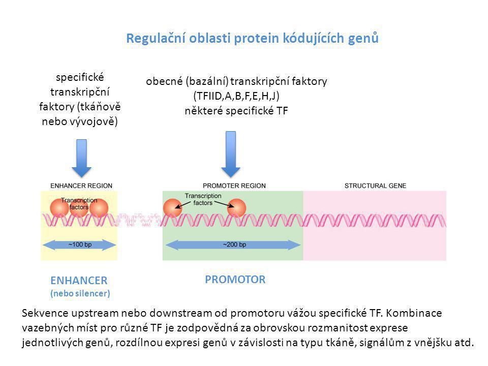 Regulační oblasti protein kódujících genů obecné (bazální) transkripční faktory (TFIID,A,B,F,E,H,J) některé specifické TF specifické transkripční fakt