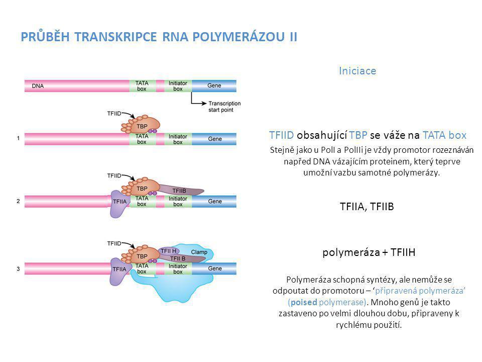 TFIID obsahující TBP se váže na TATA box TFIIA, TFIIB polymeráza + TFIIH Polymeráza schopná syntézy, ale nemůže se odpoutat do promotoru – 'připravená