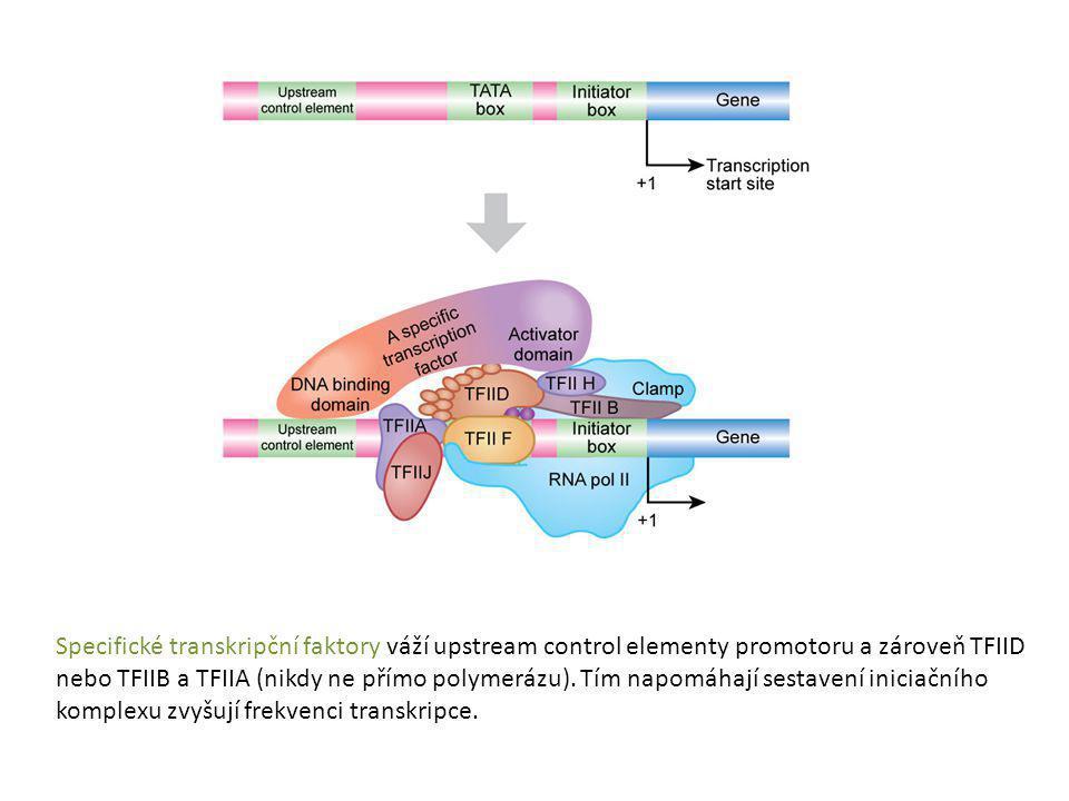 Specifické transkripční faktory váží upstream control elementy promotoru a zároveň TFIID nebo TFIIB a TFIIA (nikdy ne přímo polymerázu). Tím napomáhaj