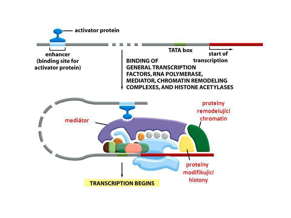 mediátor proteiny remodelující chromatin proteiny modifikující histony