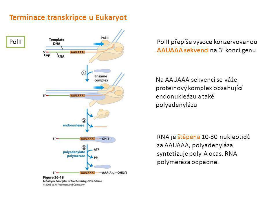 Terminace transkripce u Eukaryot PolII PolII přepíše vysoce konzervovanou AAUAAA sekvenci na 3' konci genu Na AAUAAA sekvenci se váže proteinový kompl