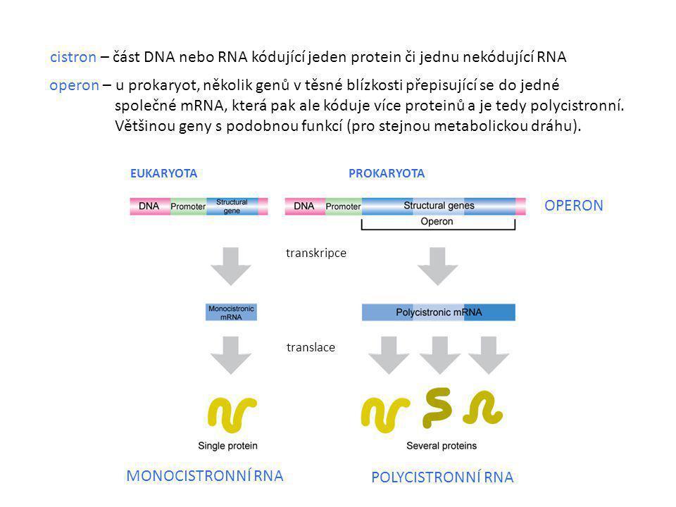 cistron – část DNA nebo RNA kódující jeden protein či jednu nekódující RNA MONOCISTRONNÍ RNA POLYCISTRONNÍ RNA EUKARYOTA PROKARYOTA transkripce transl
