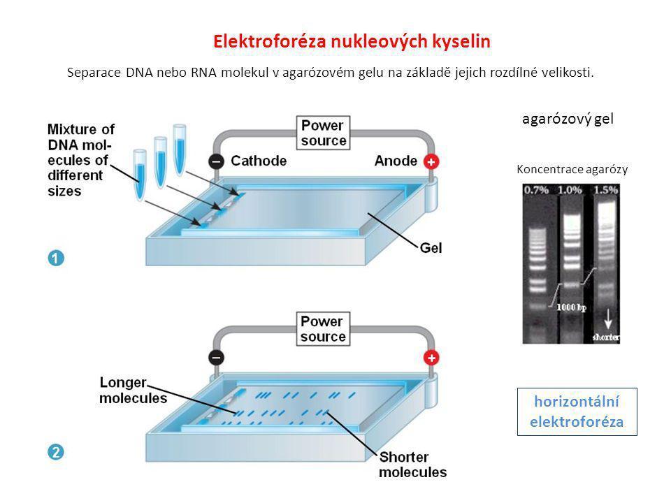 Elektroforéza nukleových kyselin Separace DNA nebo RNA molekul v agarózovém gelu na základě jejich rozdílné velikosti. horizontální elektroforéza Konc