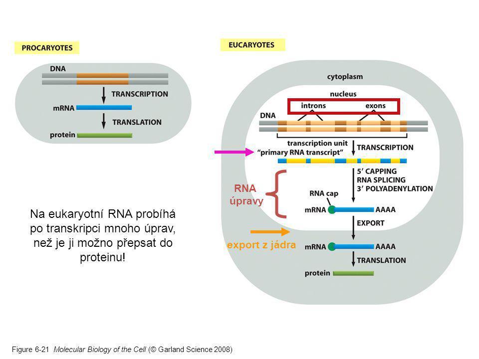 Figure 6-21 Molecular Biology of the Cell (© Garland Science 2008) Na eukaryotní RNA probíhá po transkripci mnoho úprav, než je ji možno přepsat do pr