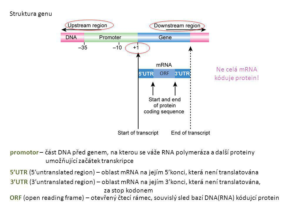 promotor – část DNA před genem, na kterou se váže RNA polymeráza a další proteiny umožňující začátek transkripce 5'UTR (5'untranslated region) – oblas