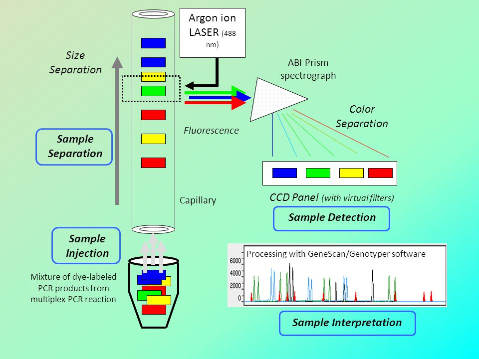 Mixture of dye-labeled PCR products from multiplex PCR reaction Sample Separation Sample Detection CCD Panel (with virtual filters) Argon ion LASER (4