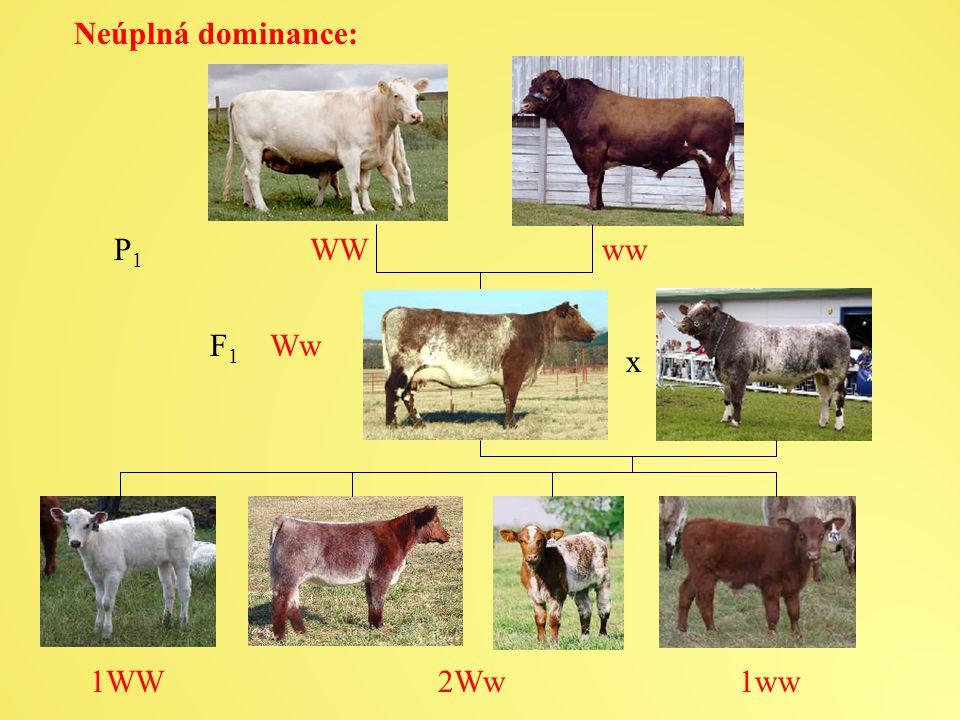 Neúplná dominance: P 1 WW ww x F 1 Ww 1WW 2Ww 1ww