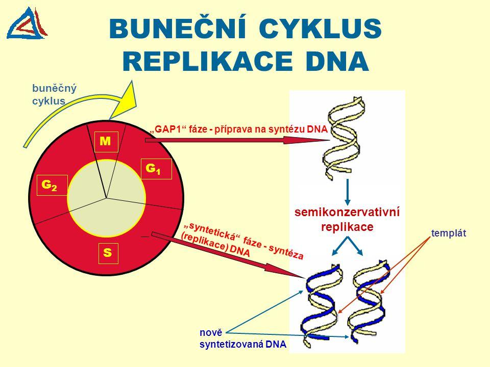 """BUNEČNÍ CYKLUS REPLIKACE DNA semikonzervativní replikace templát nově syntetizovaná DNA M G1G1 G2G2 S """"GAP1"""" fáze - příprava na syntézu DNA """"syntetick"""