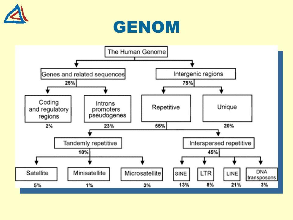 "STRUKTURA GENU promotorUTR exon 1exon 2 UTRintron 1 místo ""splicing -u 5´ - - 3´ terminátor"