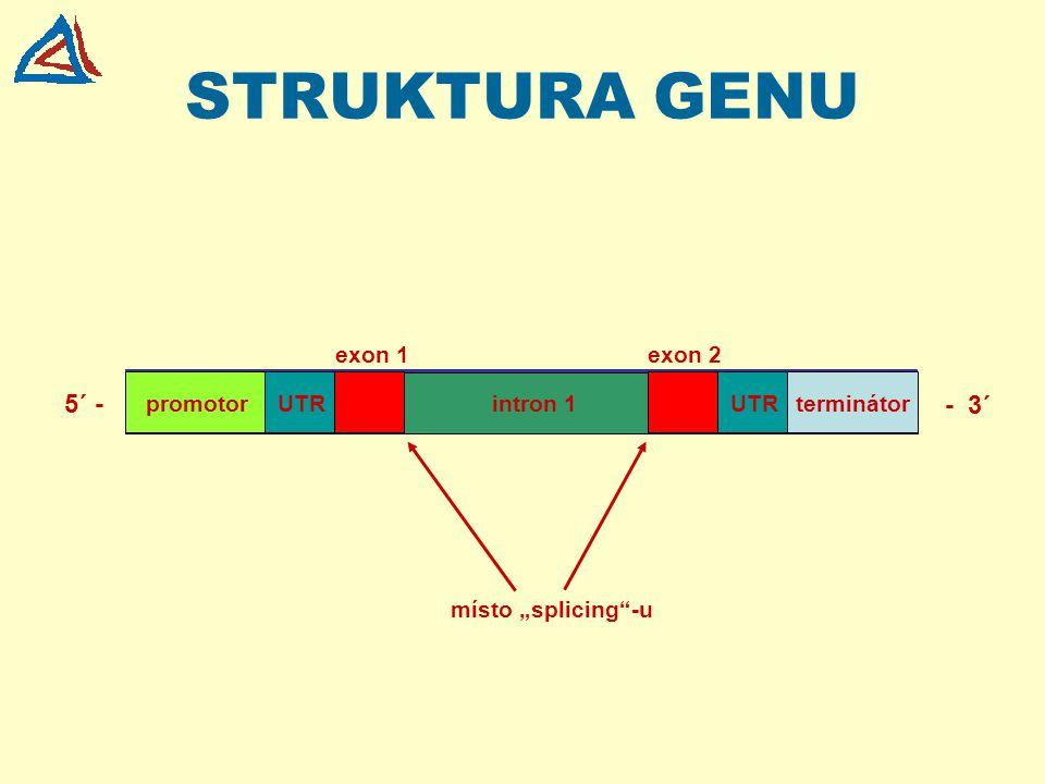 GEN A JEHO STRUKTURA transkriptovaná oblast genu promotor kódující sekvence mRNA 5´ UTR mRNA 3´ UTR ex 1int 1ex 3ex 2int 2 iniciační kodón pro syntézu proteinu začátek transkripce terminační kodón pro ukončení syntézy proteinu (UGA, UAA, UAG signál pro poly(A) 5´- konec3´- konec