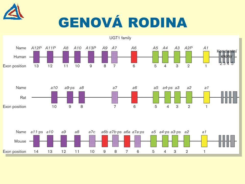 """BUNEČNÍ CYKLUS REPLIKACE DNA semikonzervativní replikace templát nově syntetizovaná DNA M G1G1 G2G2 S """"GAP1 fáze - příprava na syntézu DNA """"syntetická fáze - syntéza (replikace) DNA buněčný cyklus"""