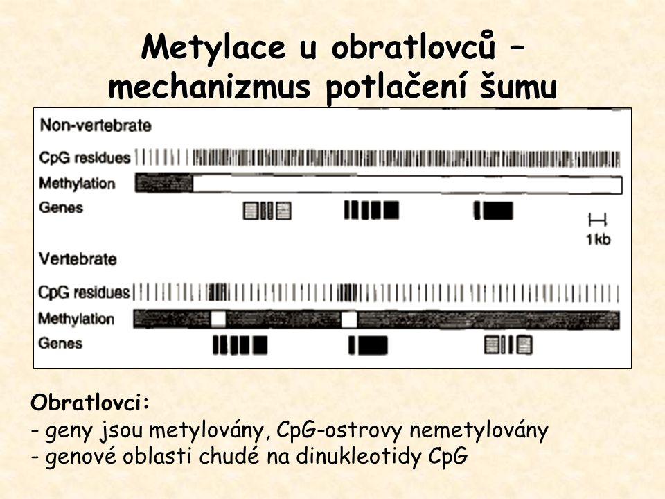 Metylace u obratlovců – mechanizmus potlačení šumu Obratlovci: - geny jsou metylovány, CpG-ostrovy nemetylovány - genové oblasti chudé na dinukleotidy