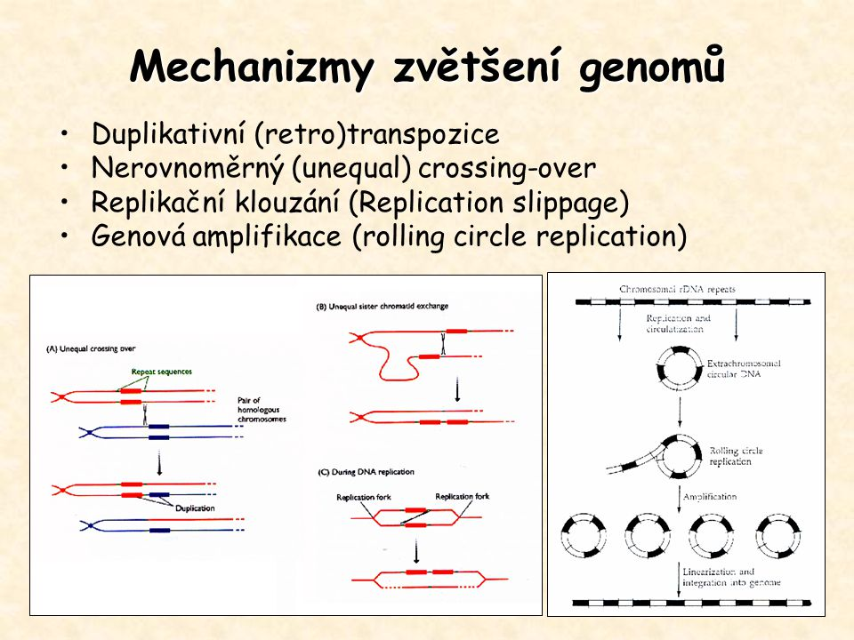 Mechanizmy zvětšení genomů Duplikativní (retro)transpozice Nerovnoměrný (unequal) crossing-over Replikační klouzání (Replication slippage) Genová ampl