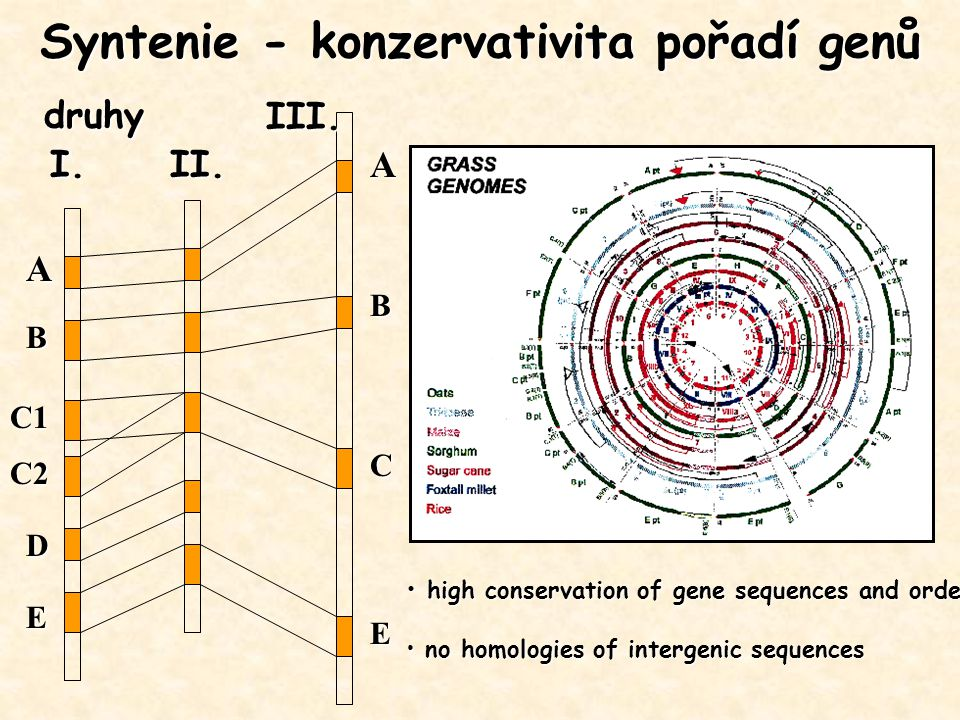 Syntenie - konzervativita pořadí genů A B C1 C2 D E A B C E druhy I.II. III. high conservation of gene sequences and order high conservation of gene s