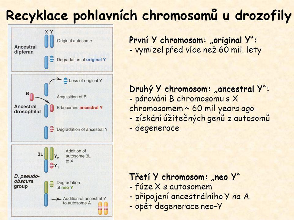 """Recyklace pohlavních chromosomů u drozofily První Y chromosom: """"original Y"""": - vymizel před více než 60 mil. lety Druhý Y chromosom: """"ancestral Y"""": -"""