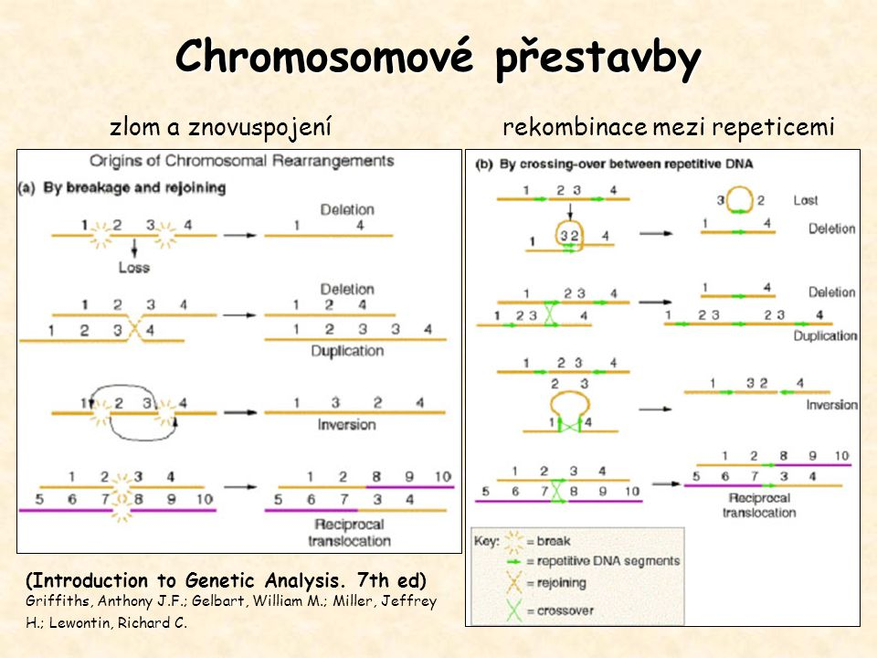 Chromosomové přestavby (Introduction to Genetic Analysis. 7th ed) Griffiths, Anthony J.F.; Gelbart, William M.; Miller, Jeffrey H.; Lewontin, Richard