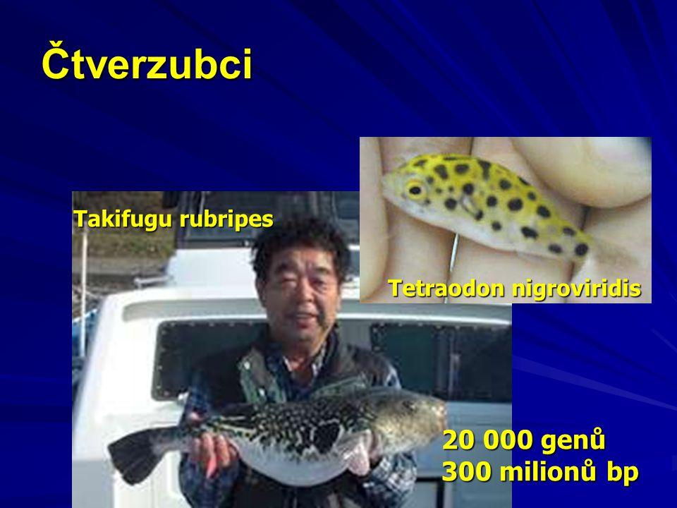 Čtverzubci Tetraodon nigroviridis Takifugu rubripes 20 000 genů 300 milionů bp