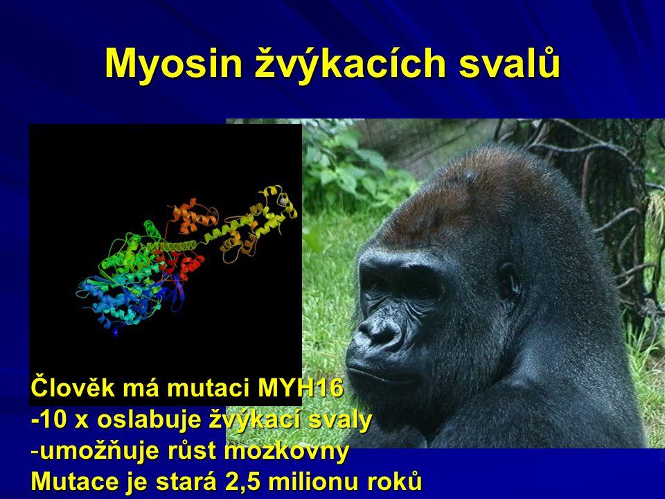 Myosin žvýkacích svalů Člověk má mutaci MYH16 -10 x oslabuje žvýkací svaly -umožňuje růst mozkovny Mutace je stará 2,5 milionu roků