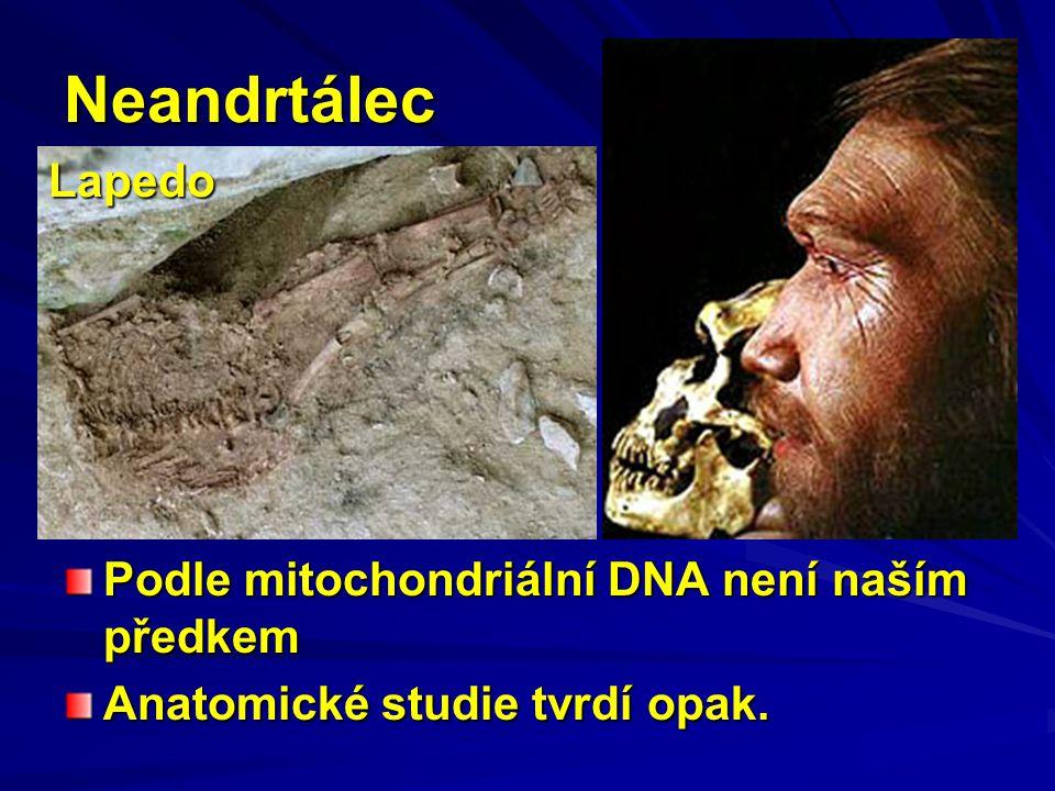 Neandrtálec Podle mitochondriální DNA není naším předkem Anatomické studie tvrdí opak. Lapedo