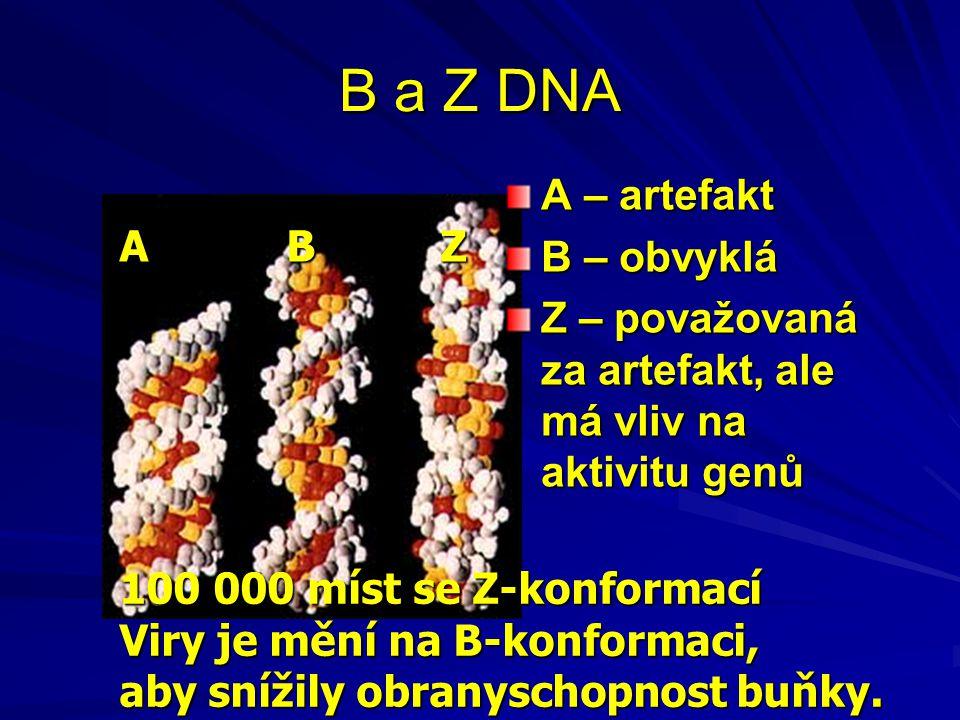 B a Z DNA A B Z A – artefakt B – obvyklá Z – považovaná za artefakt, ale má vliv na aktivitu genů 100 000 míst se Z-konformací Viry je mění na B-konfo