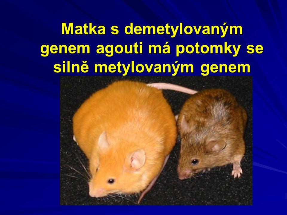 Matka s demetylovaným genem agouti má potomky se silně metylovaným genem
